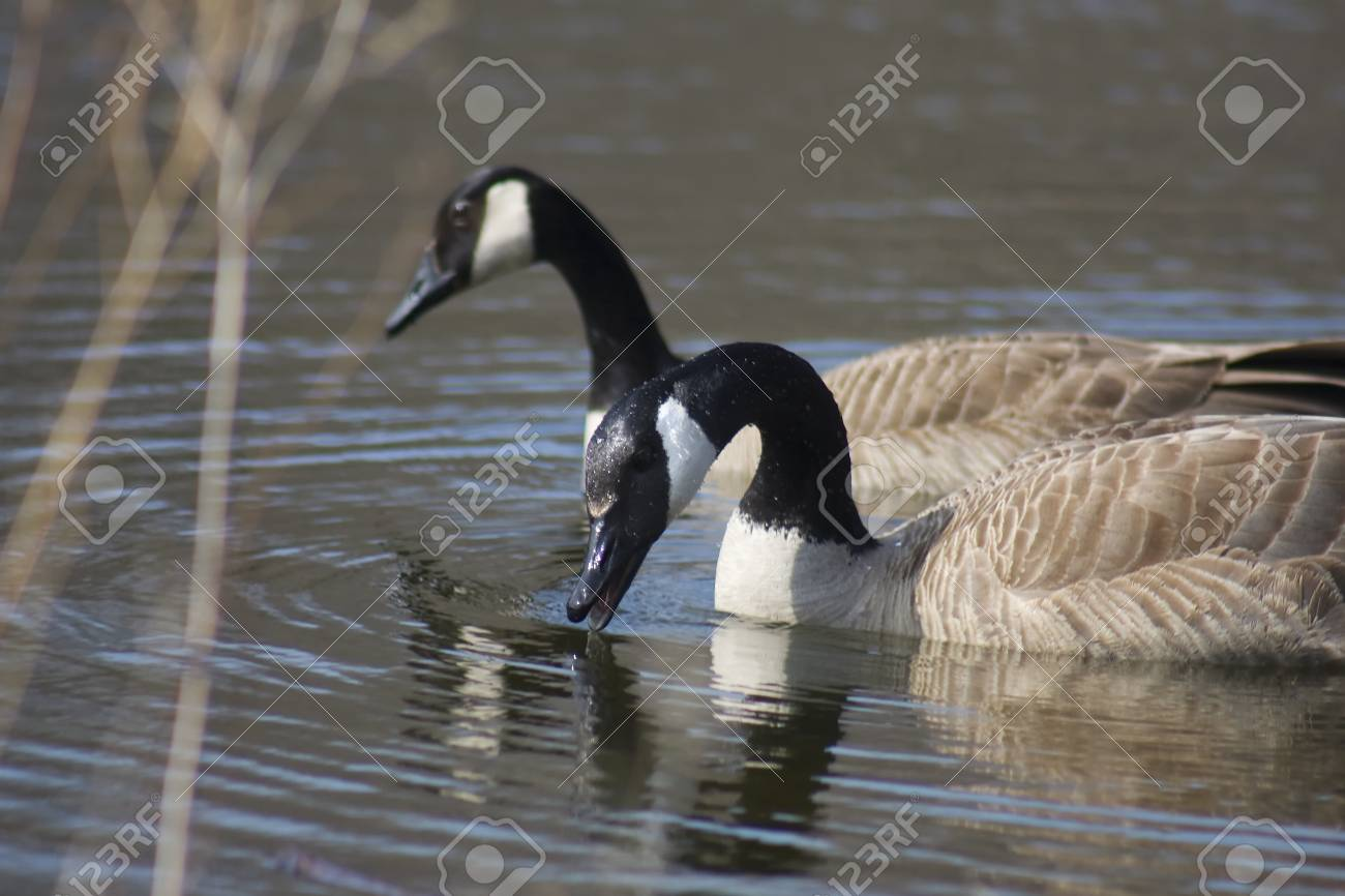 Two Canadian Geese swimming in a pond. Stock Photo - 9091218