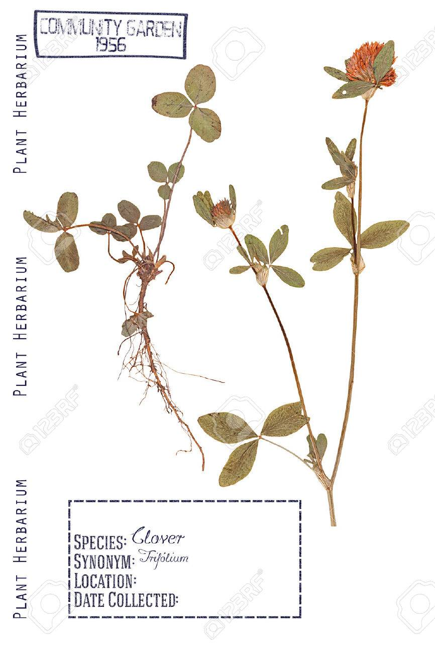 Herbarium Of Pressed Parts Of The Plant Clover Stem Leaves Stock Photo Picture And Royalty Free Image Image 58050849