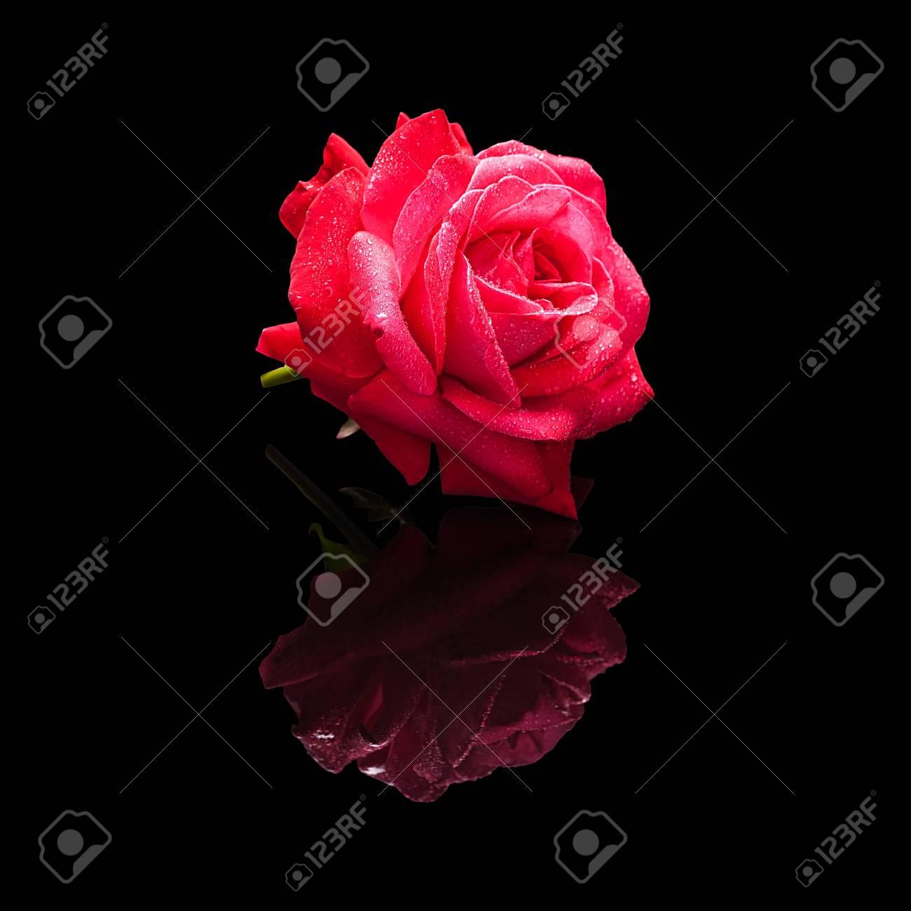 Fleur Rose Rouge Avec Des Gouttes D Eau Isolees Sur Un Fond Noir