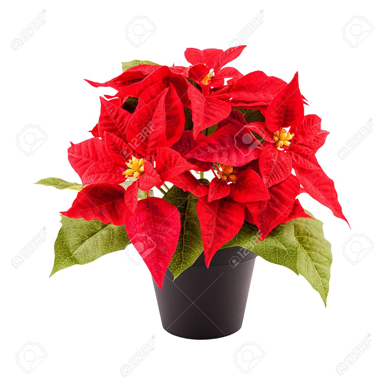 Christmas Flower Poinsettia In A Pot Isolated On White Stock Photo Picture And Royalty Free Image Image 88503198
