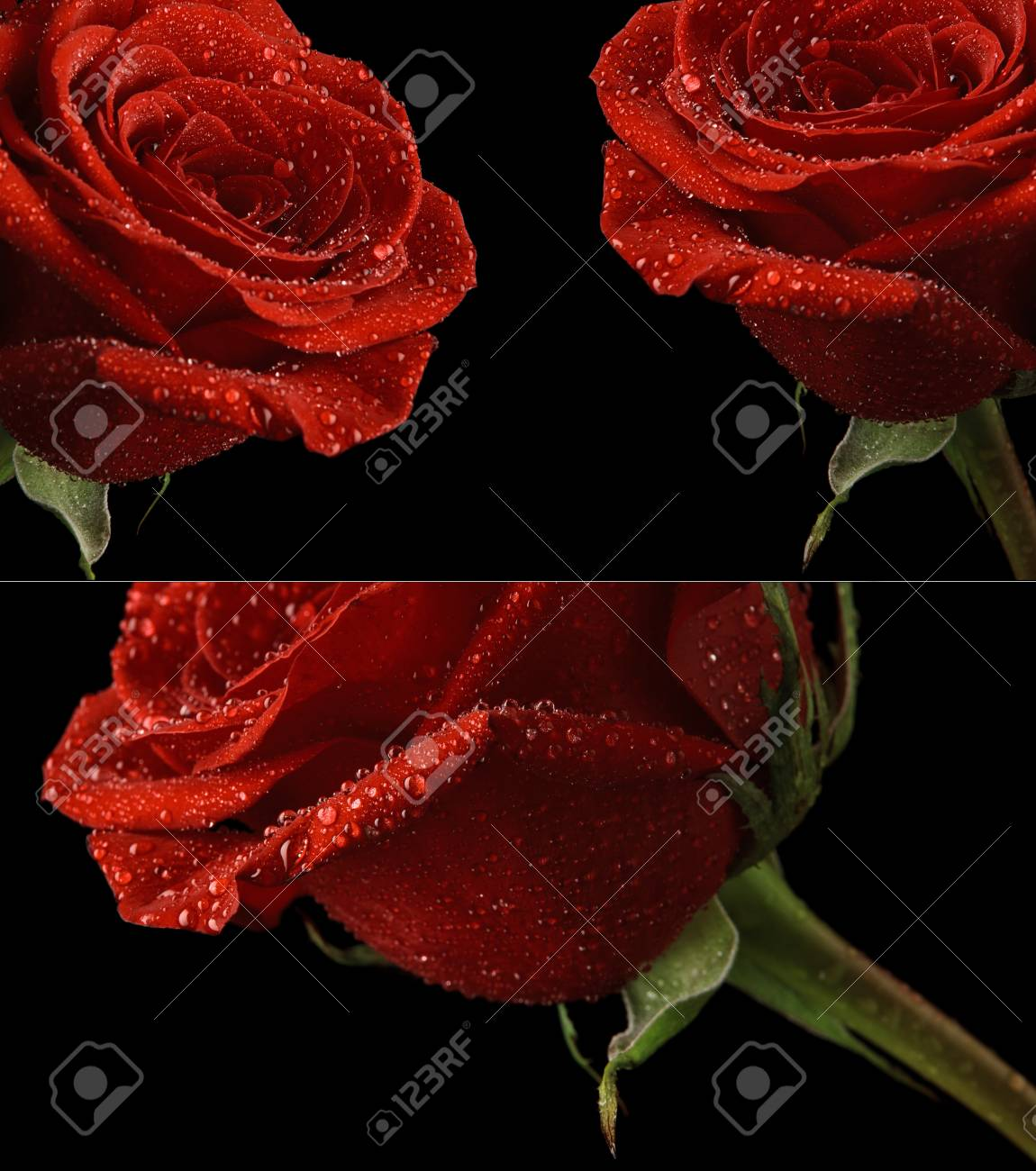 Red Rose In Dew Drops On A Black Background Stock Photo Picture And Royalty Free Image Image 18944285
