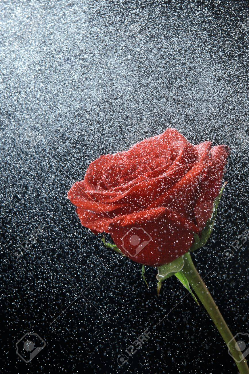 Red Rose In Dew Drops On A Black Background Stock Photo Picture And Royalty Free Image Image 18944179