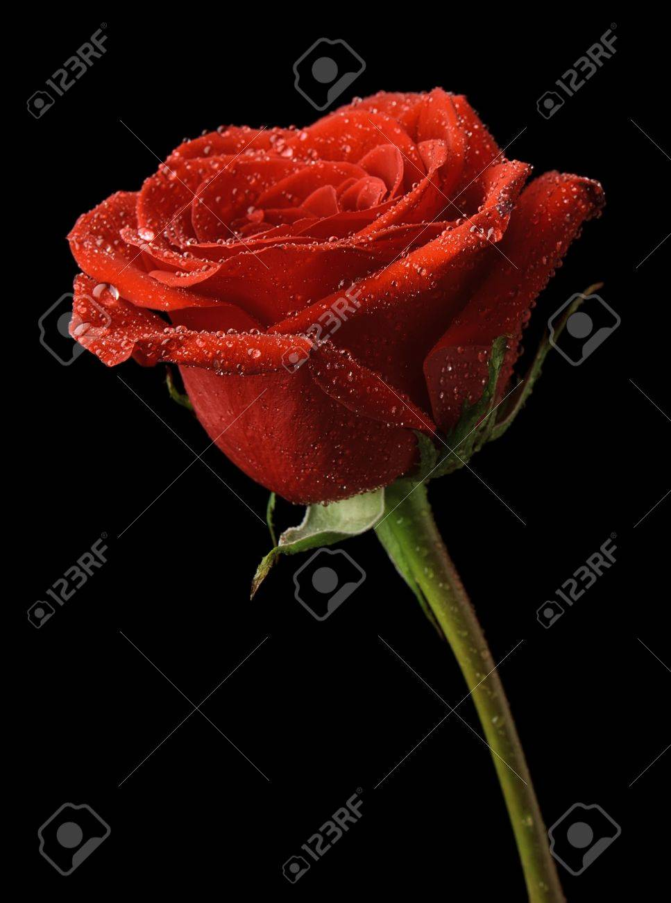 Red Rose In Dew Drops On A Black Background Stock Photo Picture And Royalty Free Image Image 18943848