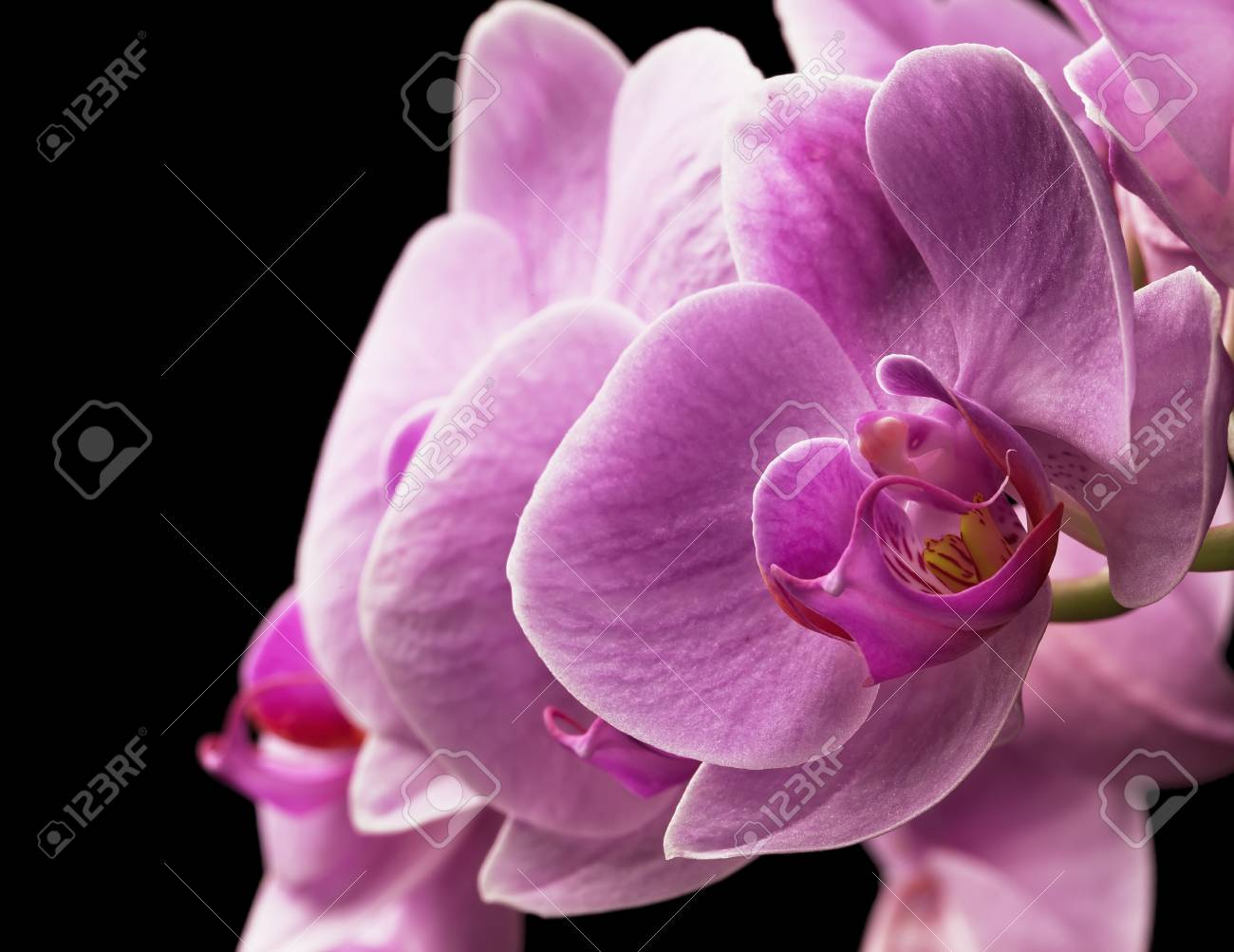 bouquet of magenta orchids is isolated on black background Stock Photo - 19865872