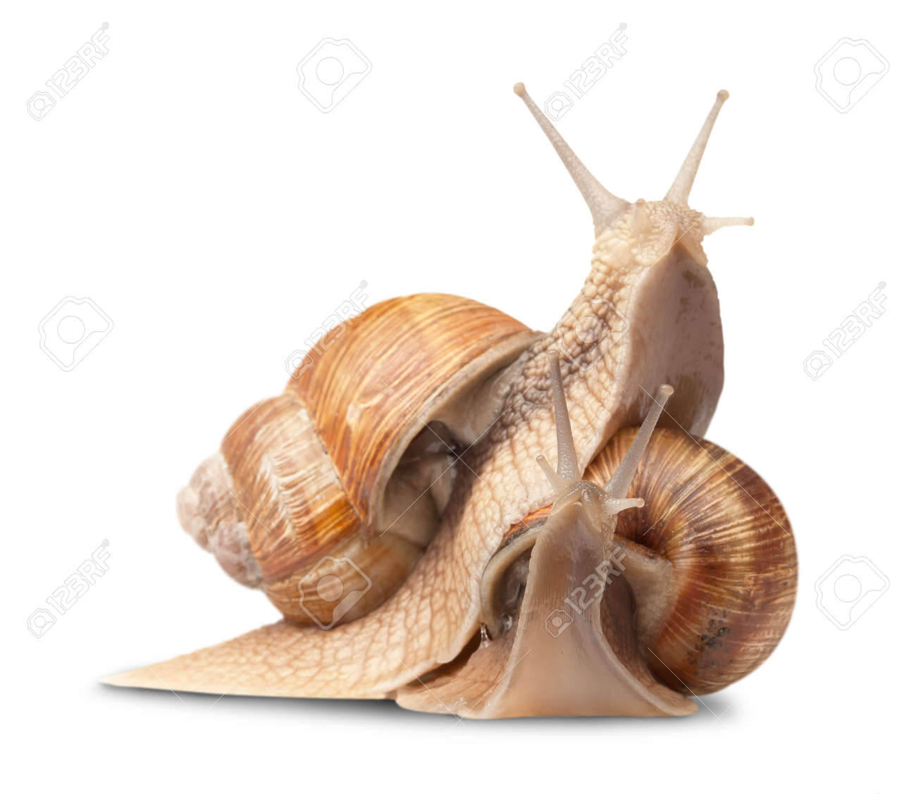 two big snails posing. isolated on white - 154813757