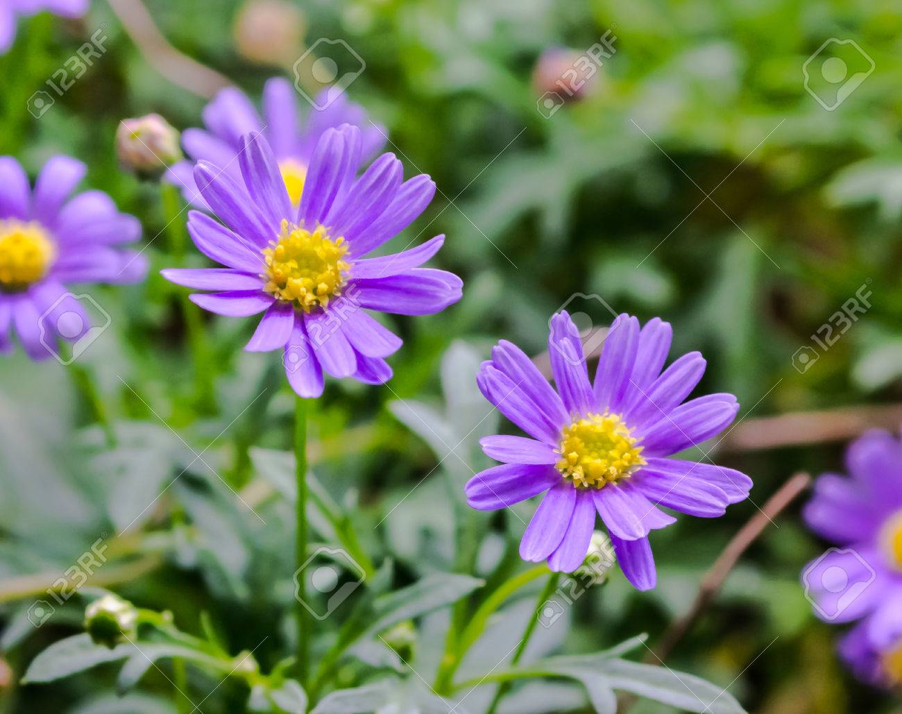 purple aster flower aster amellus in the garden stock photo, Beautiful flower