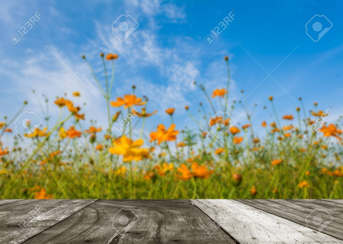 Image Of Orange And Yellow Cosmos Flowers In Garden Field On Stock