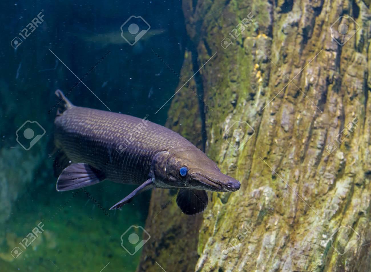 Picture Of A Gar Fish | Image Of Alligator Gar Fish In Aquarium Tank Stock Photo Picture