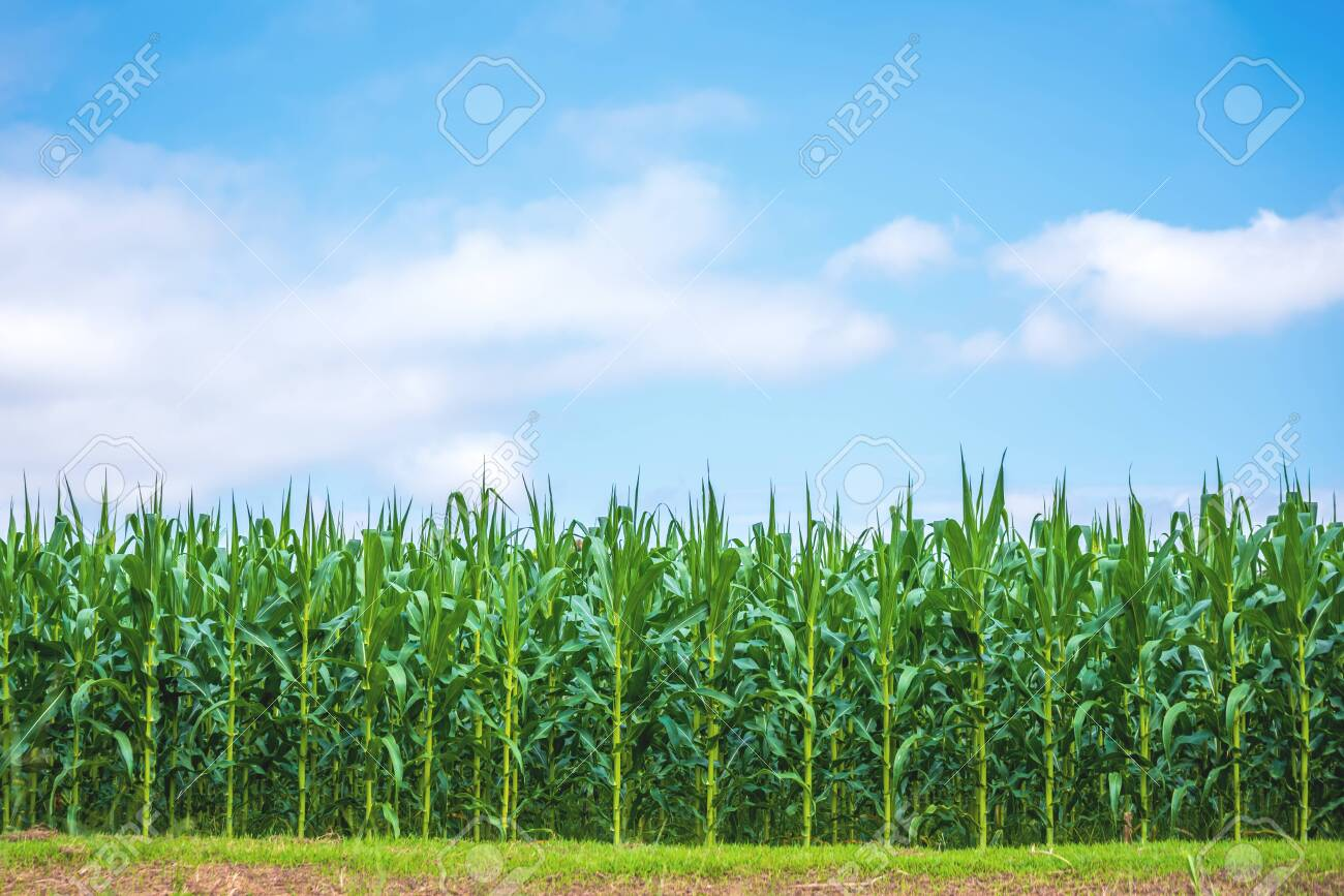 image of corn field and cloudy blue sky day time. - 123732177
