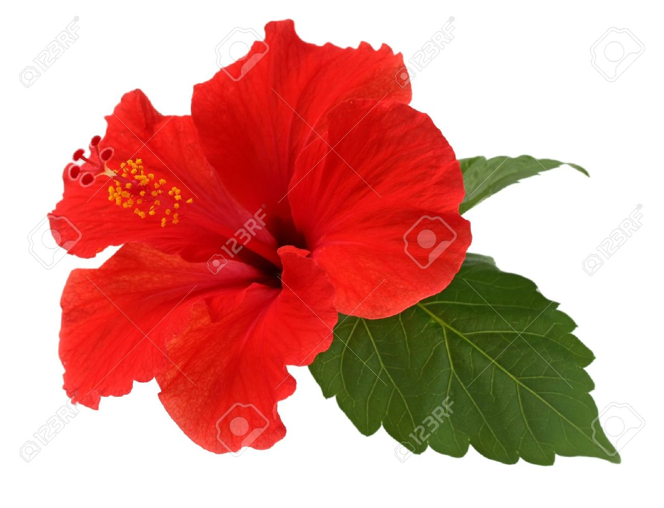 A Red Hibiscus Flower On White Background Stock Photo Picture And