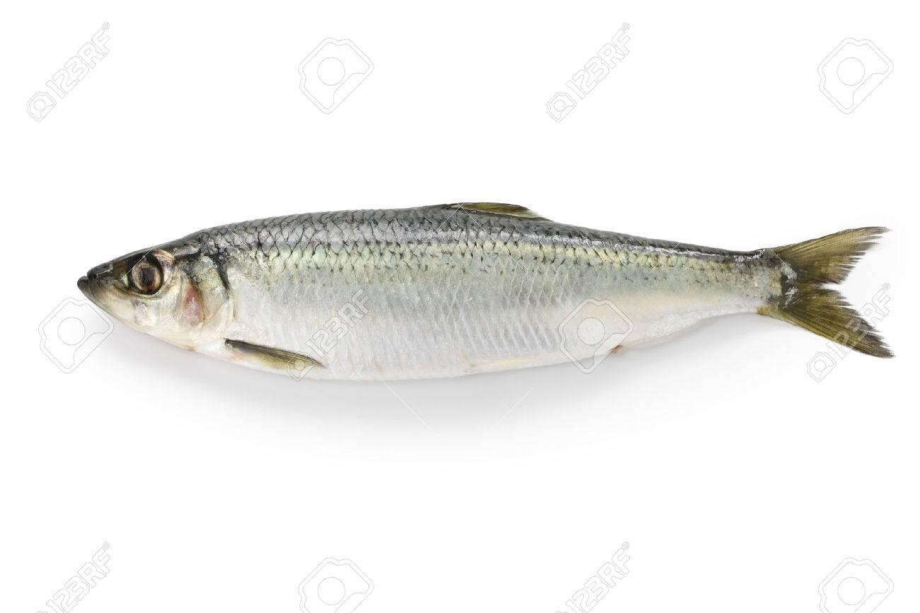 herring - 26275536