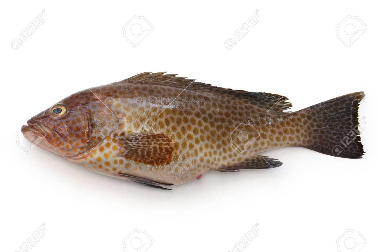 areolate grouper, epinephelus areolatus, yellow-spotted rockcod Stock Photo - 46201362