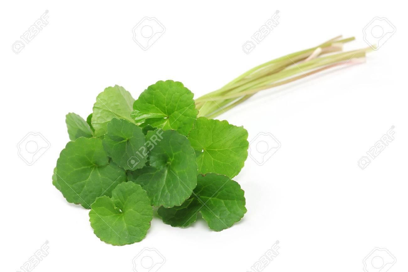 gotu kola, asiatic pennywort, centella asiatica, ayurveda herbal medicine Stock Photo - 55976120
