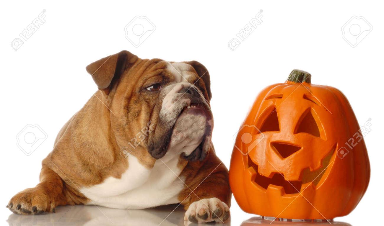 Halloween Kurbis Auf Englisch.Englisch Bulldogge Sitzung Neben Einem Festlichen Halloween Kurbis Lizenzfreie Fotos Bilder Und Stock Fotografie Image 3708192