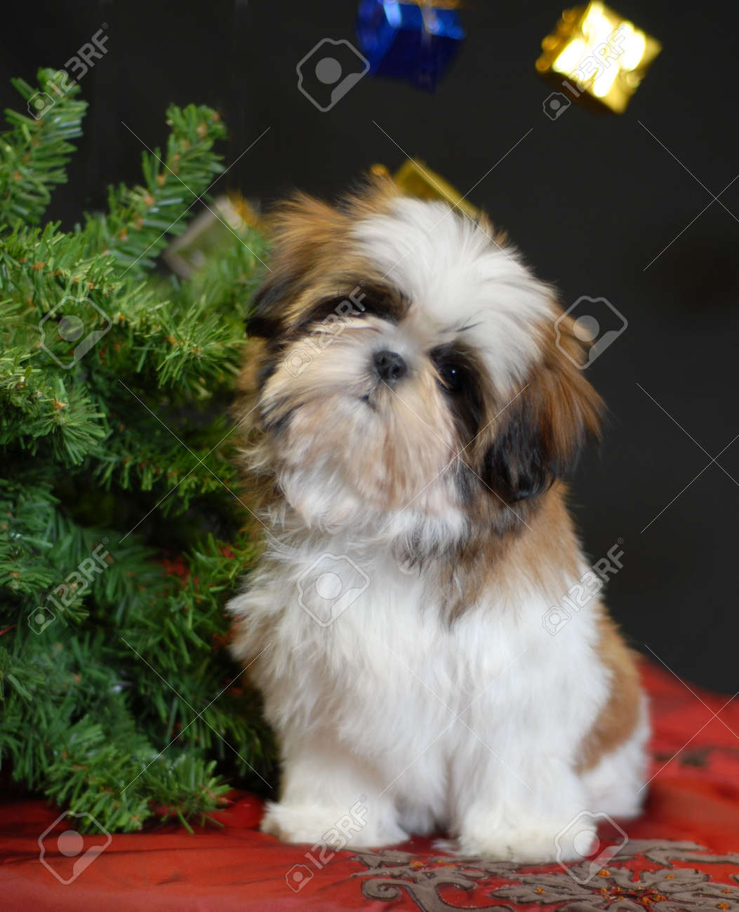 Shih Tzu Puppy Sitting Beside Christmas Tree Stock Photo Picture And Royalty Free Image Image 3724520