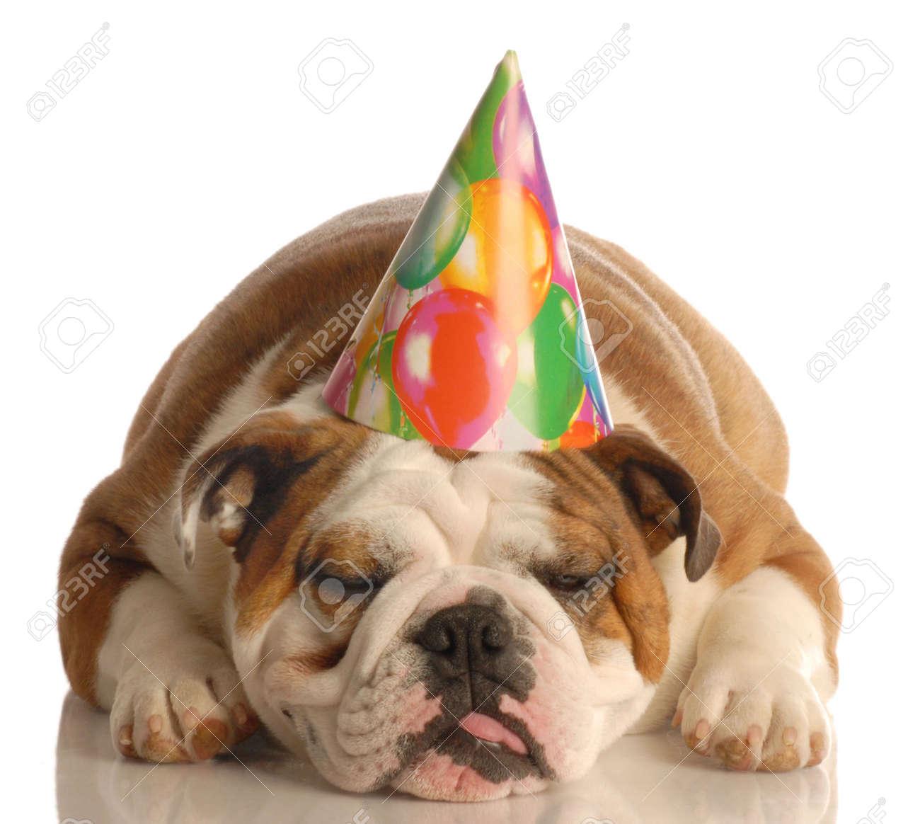 english bulldog wearing birthday party hat isolated on white background Stock Photo - 3785560