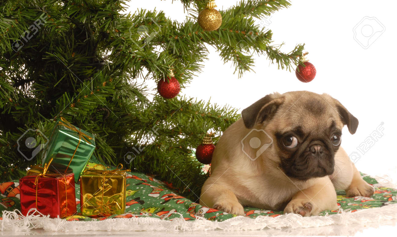 Cute Fawn Pug Puppy Under Christmas Tree Stock Photo Picture And