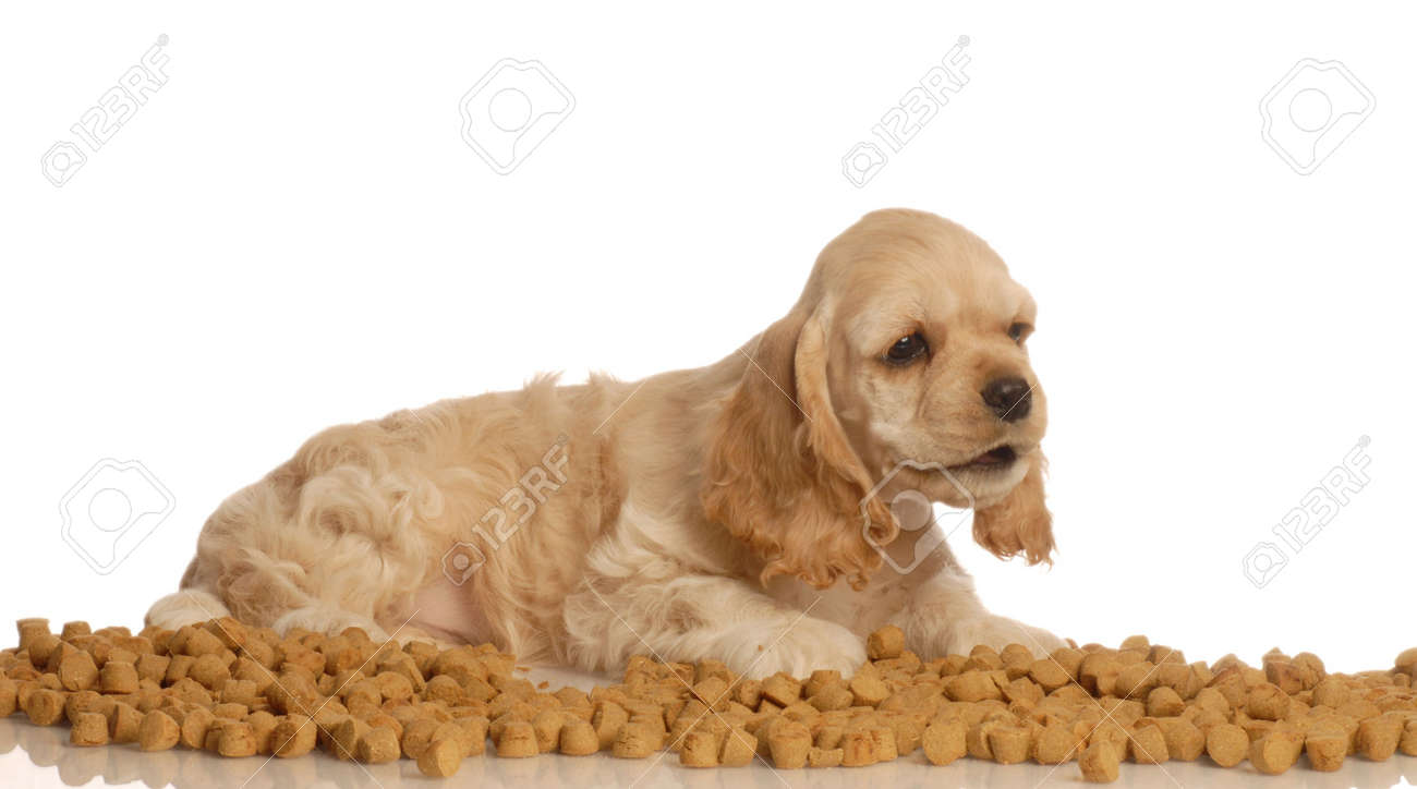 American Cocker Spaniel Puppy Surrounded By Dog Food Stock Photo Picture And Royalty Free Image Image 3850010