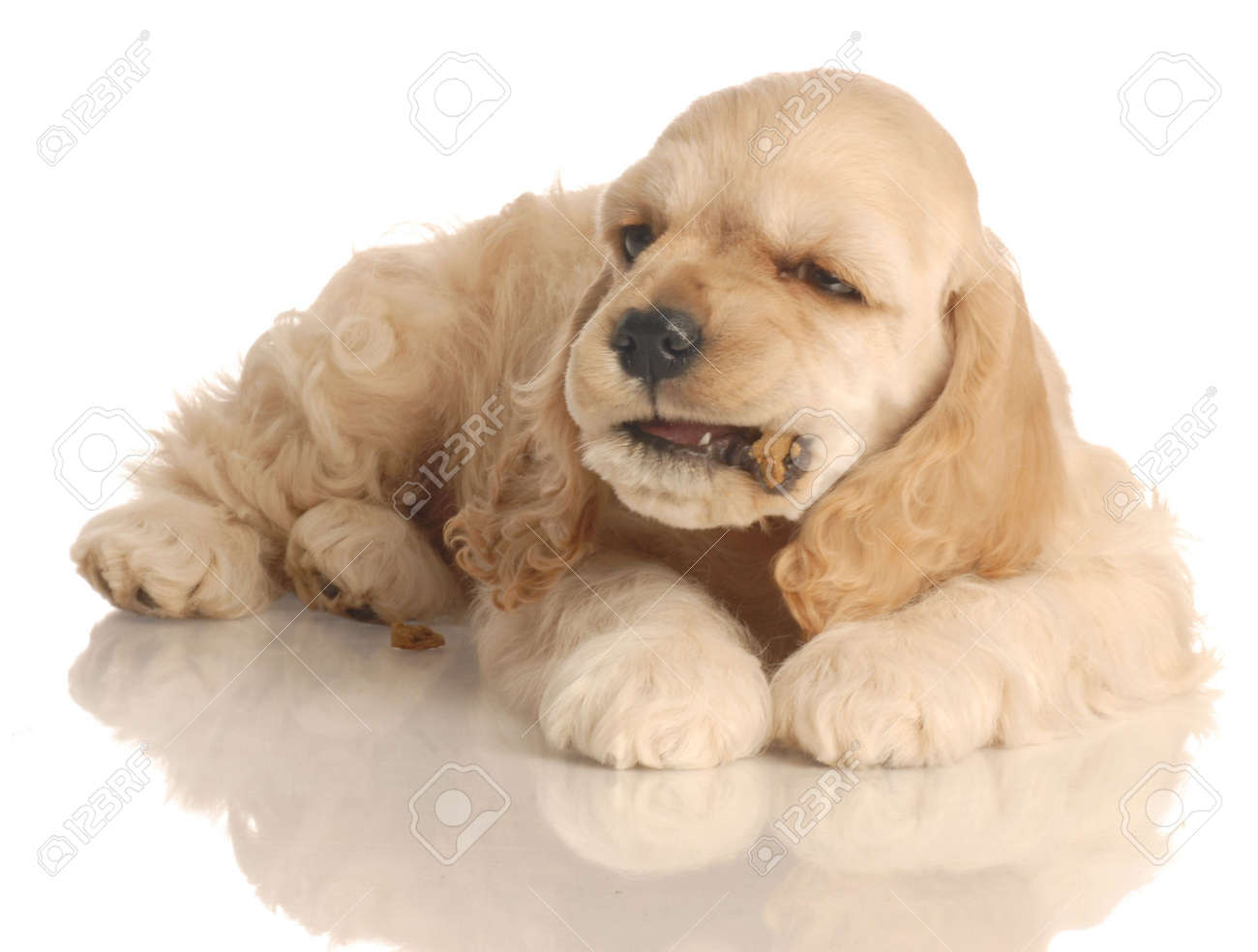 American Cocker Spaniel Puppy Eating A Piece Of Dog Food Isolated Stock Photo Picture And Royalty Free Image Image 3850002