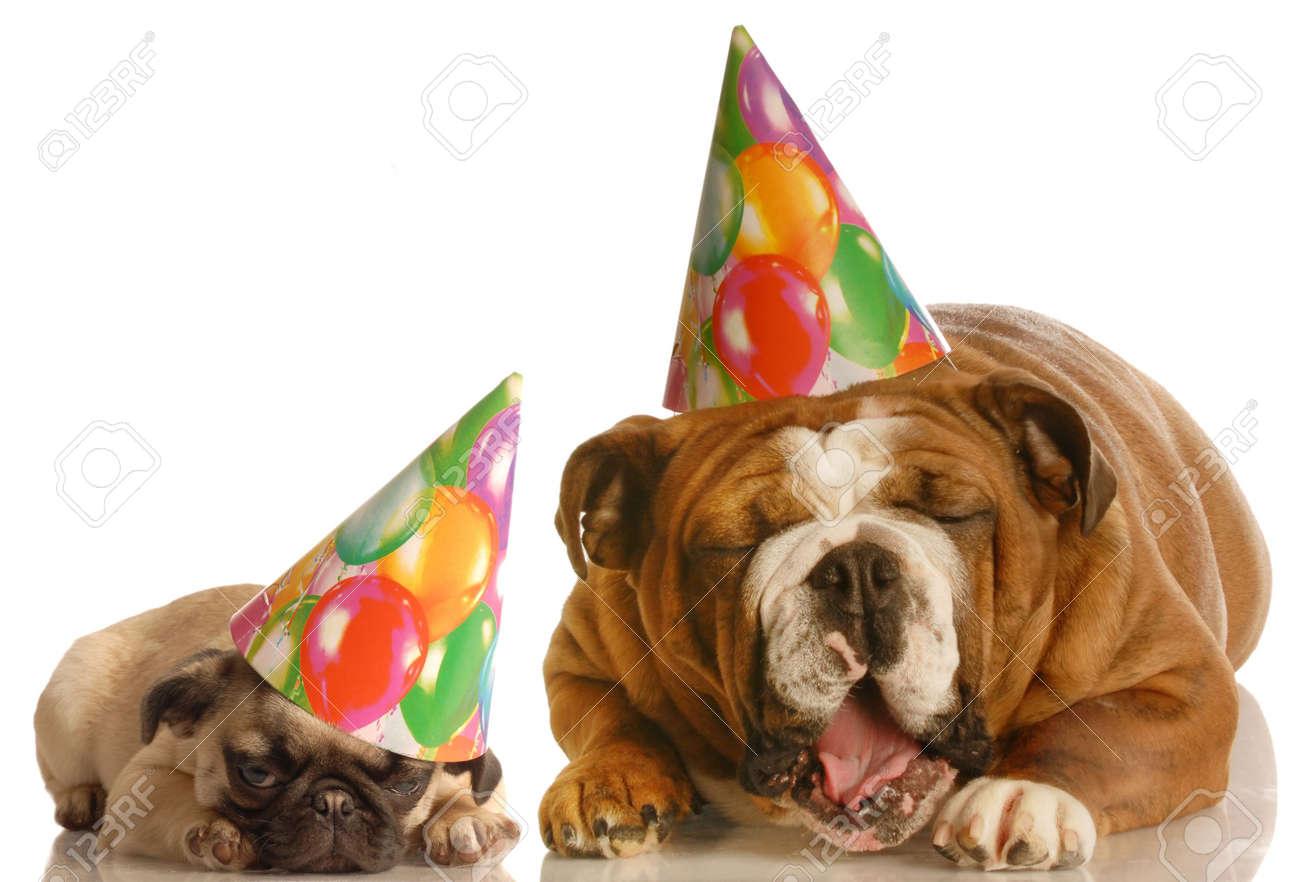 An English Bulldog And A Pug Wearing Birthday Hats Complaining