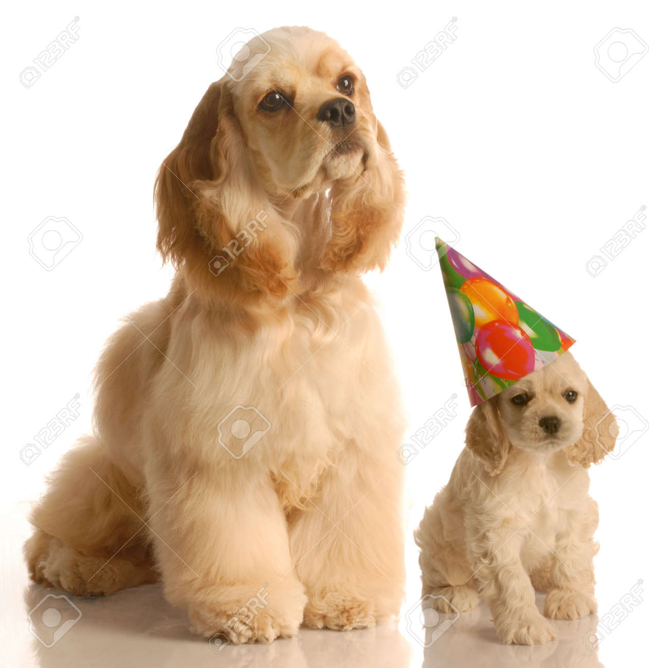 Concept Of Mother And Baby At Birthday Cocker Spaniel Puppy Stock Photo Picture And Royalty Free Image Image 4521343
