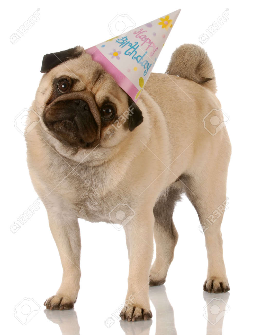 Pug Standing Wearing Birthday Hat On White Background Stock Photo