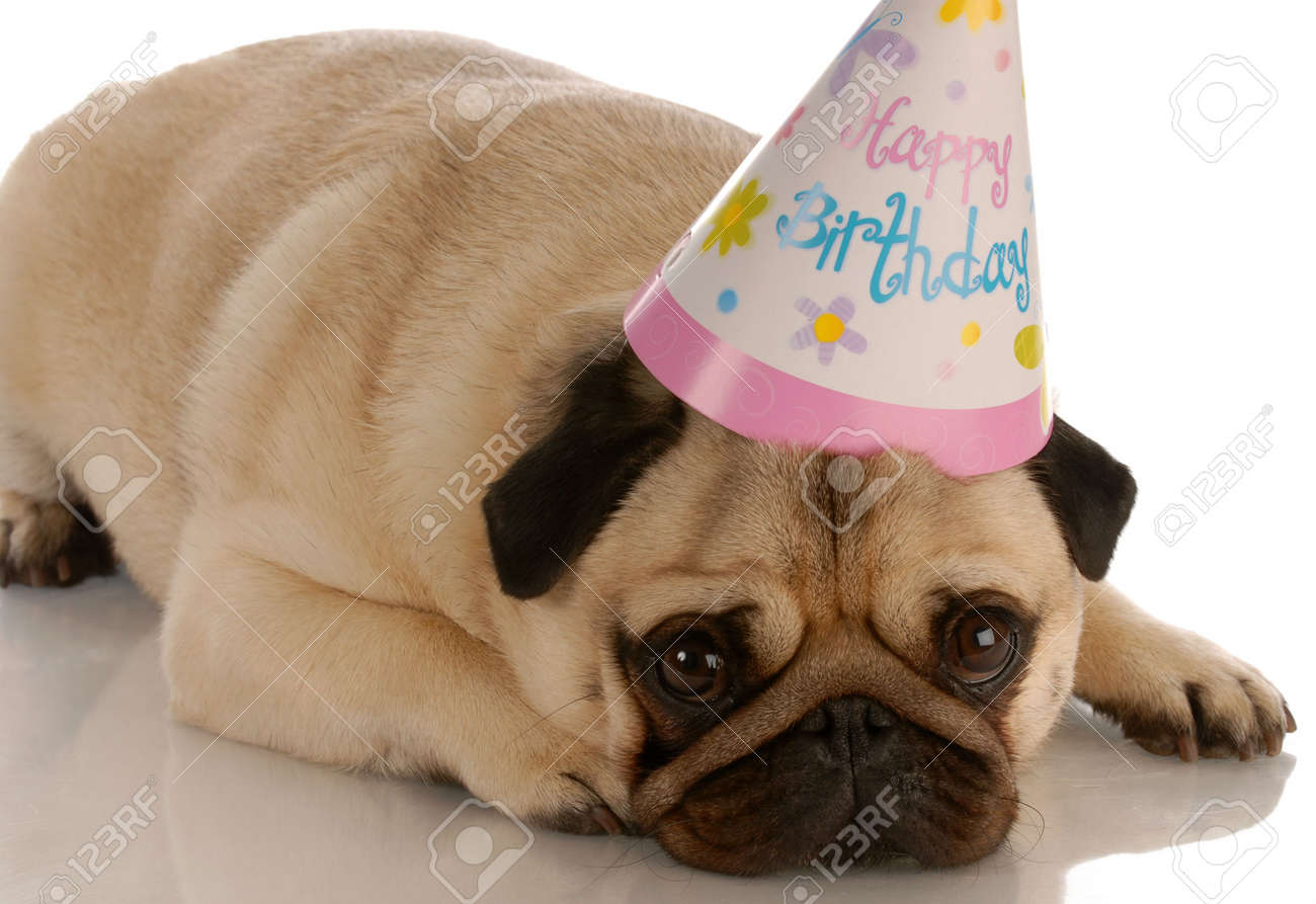 Pug Laying Down With Birthday Hat On White Background Stock Photo