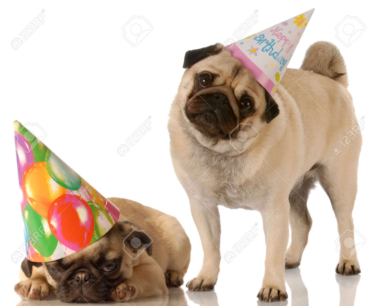 Two Pug Dogs Wearing Cute Birthday Hats On White Background Stock