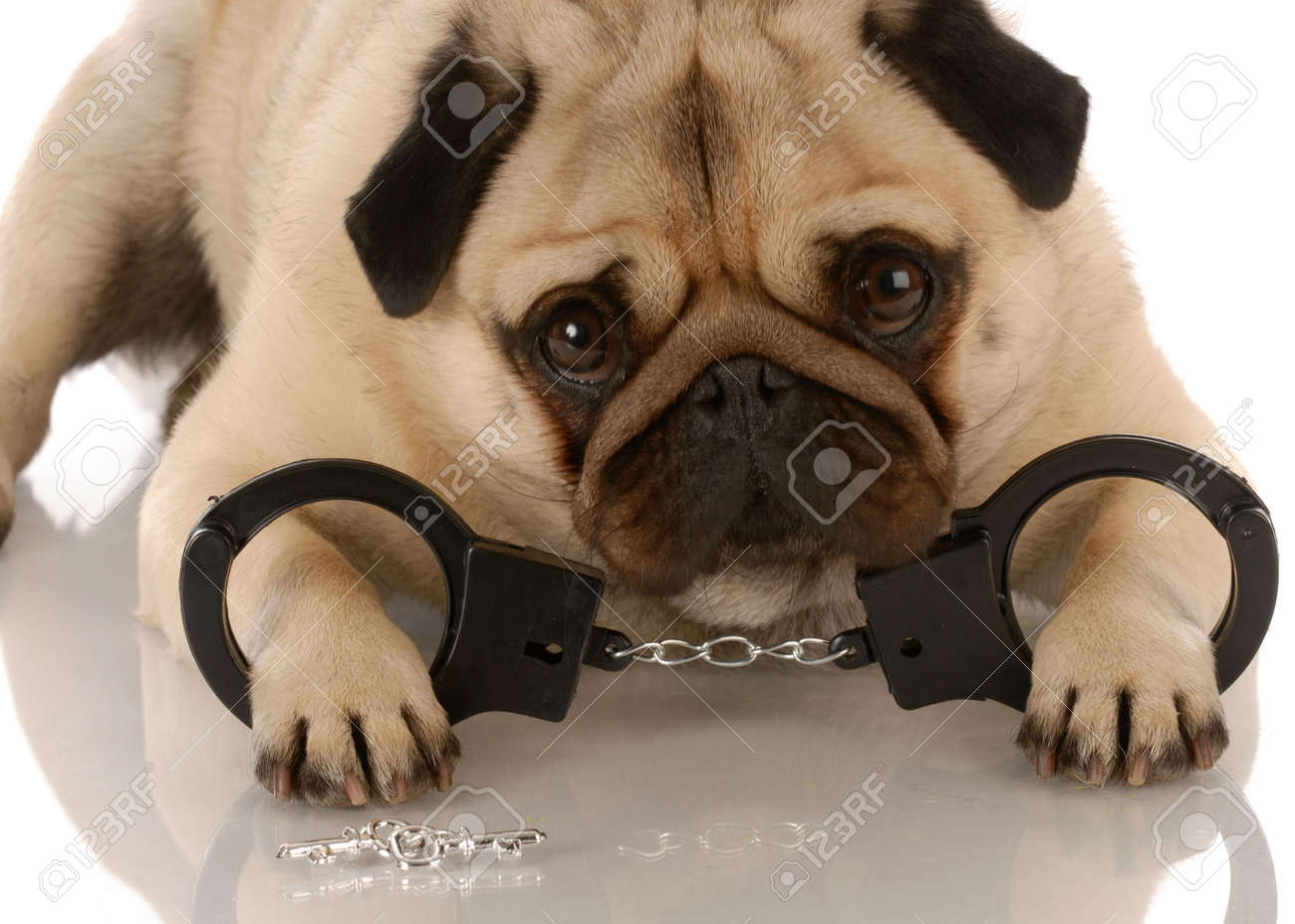 dog breaking the law - pug laying down with handcuffs and keys Stock Photo - 5630579