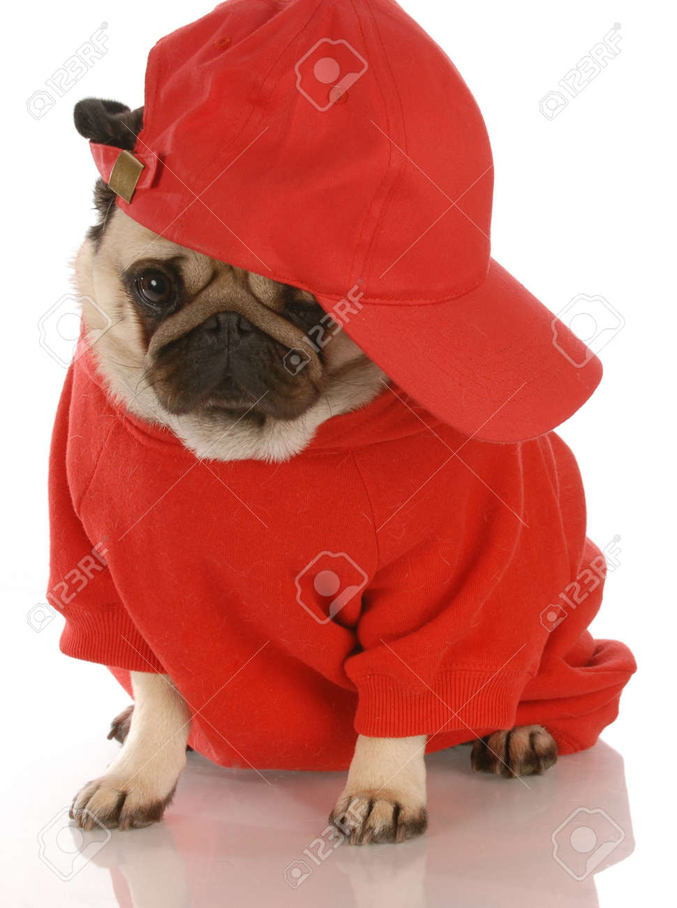 adorable pug wearing red shirt and sports cap Stock Photo - 5654455 b4b3716fbbc