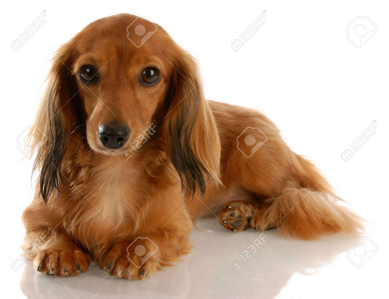 long haired miniature dachshund laying down on white background