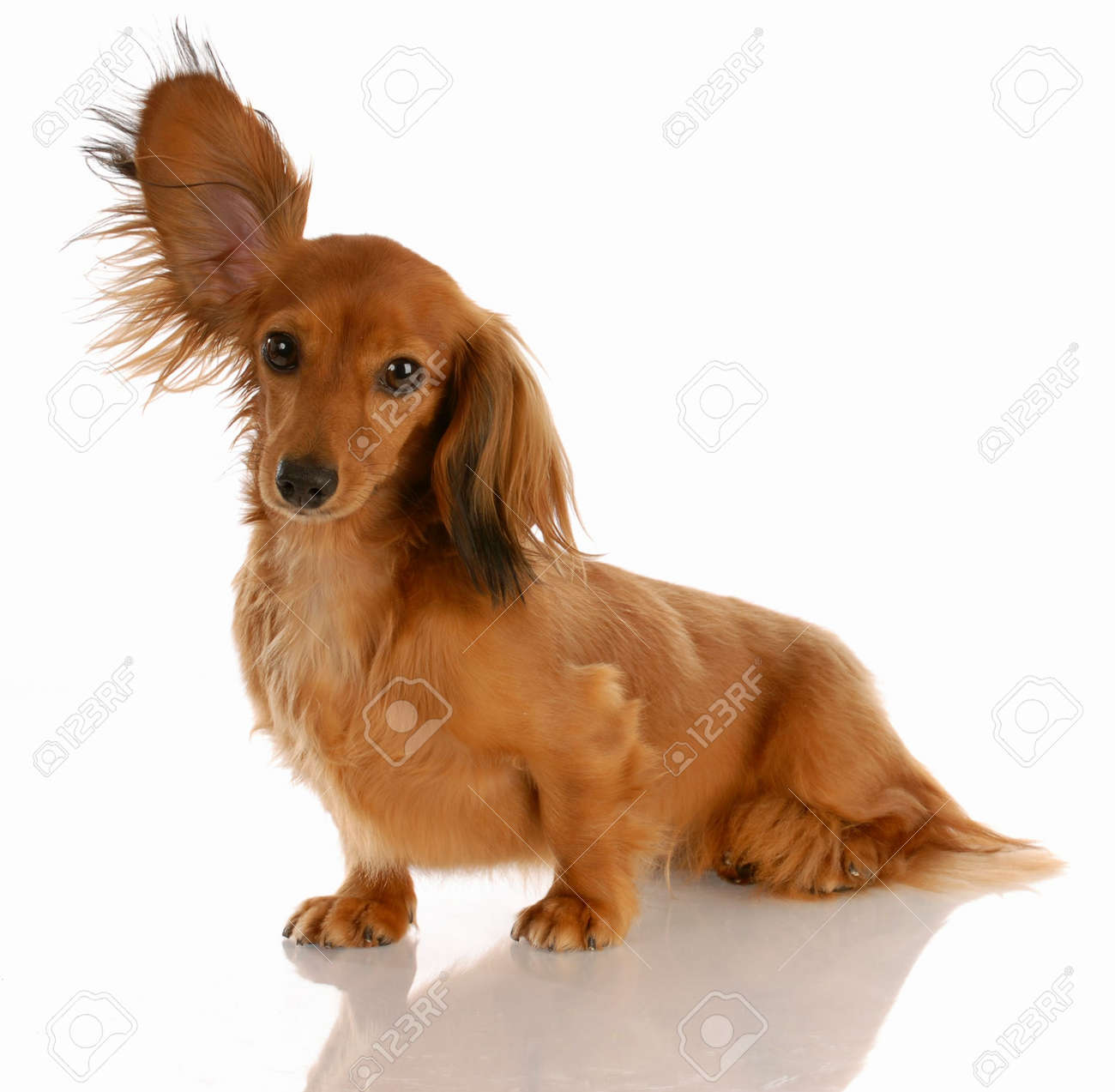 long haired miniature dachshund with one ear standing up Stock Photo - 5671015