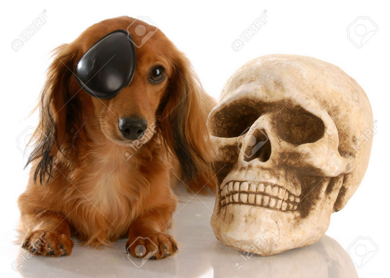 long haired miniature dachshund wearing eye patch laying beside skull Stock Photo - 5709196