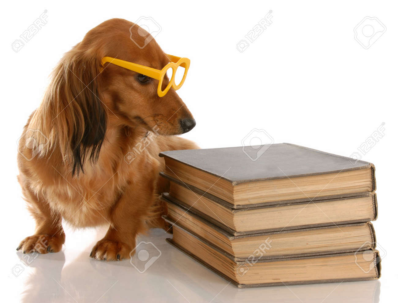 dog obedience - miniature dachshund sitting beside stack of books Stock Photo - 5728073