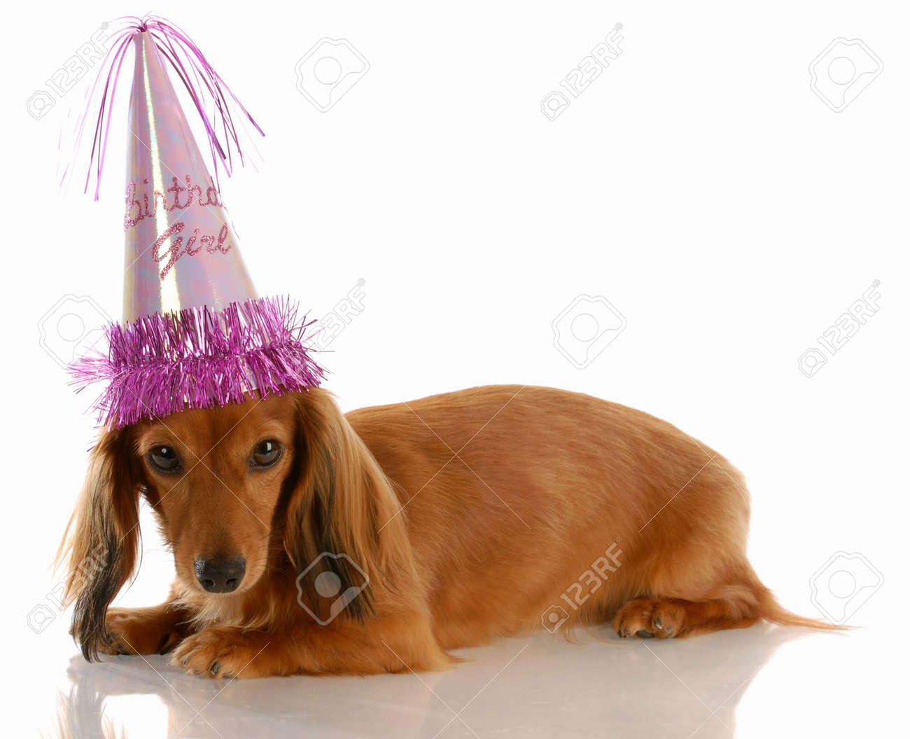 miniature long haired dachshund dog wearing birthday girl hat stock