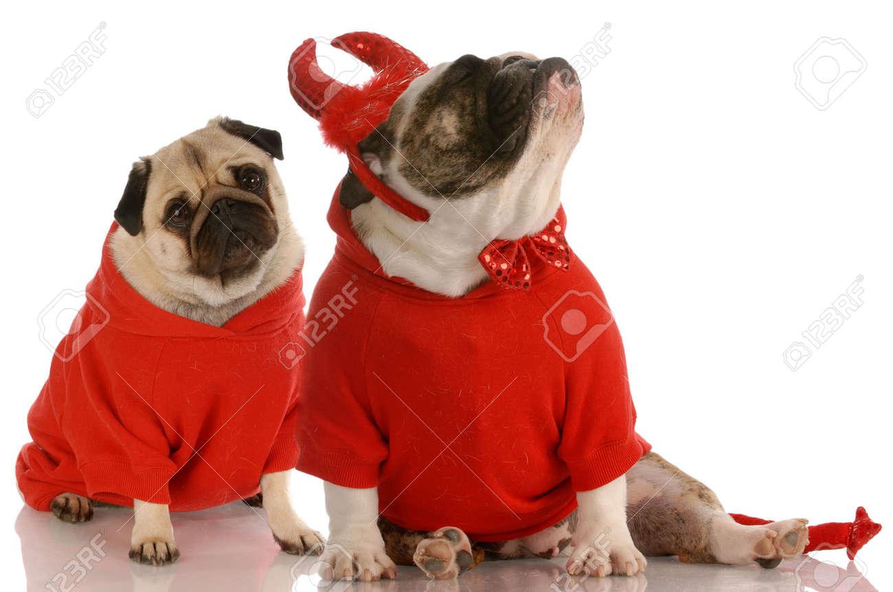 funny dog fight - bulldog dressed as devil ignoring pug Stock Photo - 5792937