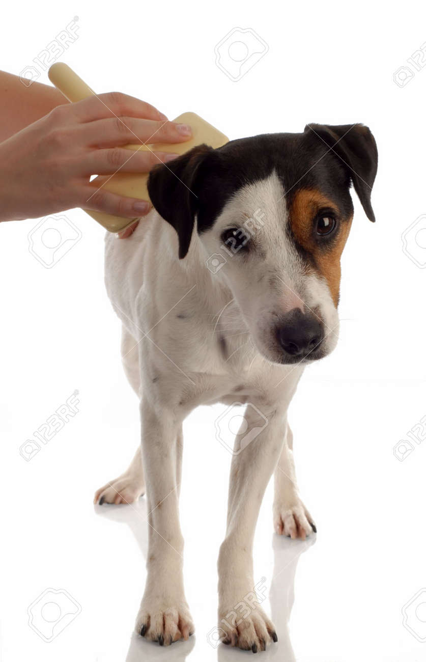 jack russel terrier dog being brushed or groomed Stock Photo - 5792928