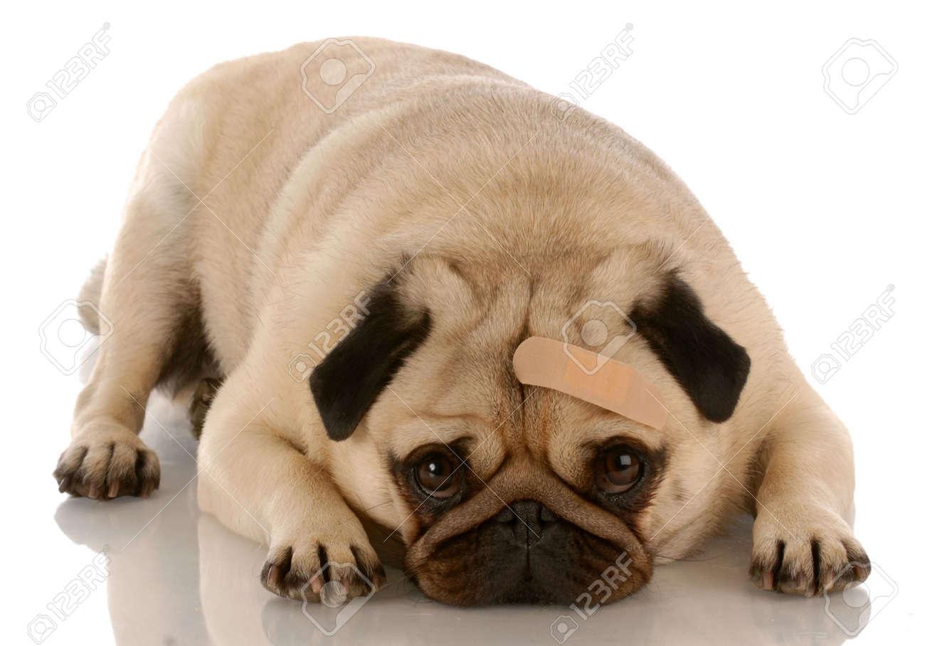 veterinary care - pug dog with bandage on forehead Stock Photo - 5884573