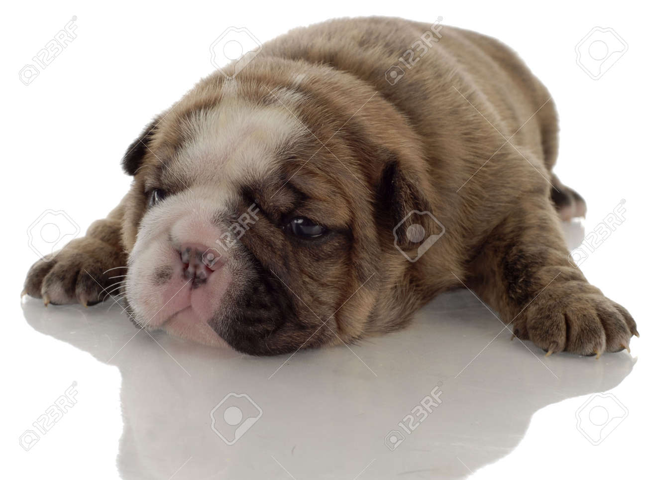 Brindle English Bulldog Puppy With Reflection On White Background Stock Photo Picture And Royalty Free Image Image 5891718