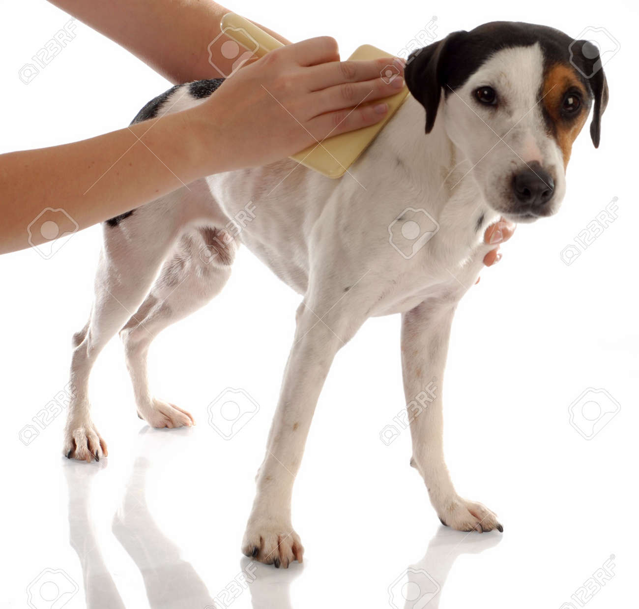 dog grooming - jack russel terrier being brushed Stock Photo - 5891707