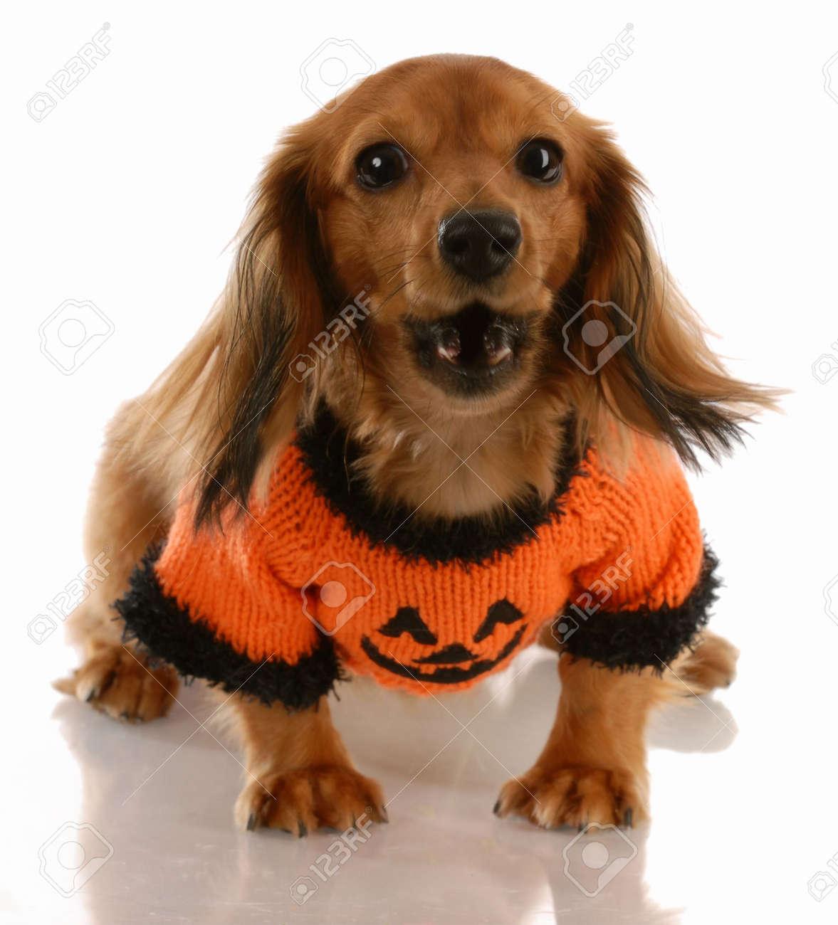 Dachshund miniatura pelo largo que llevaba el suéter de calabaza con  actitud caldoso Foto de archivo 97bfe16da7fb