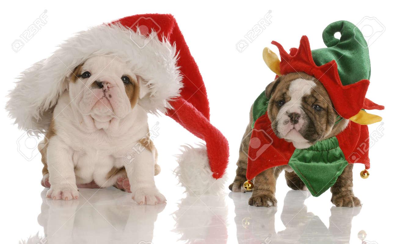 Four Week Old English Bulldog Puppies Dressed Up As Santa And