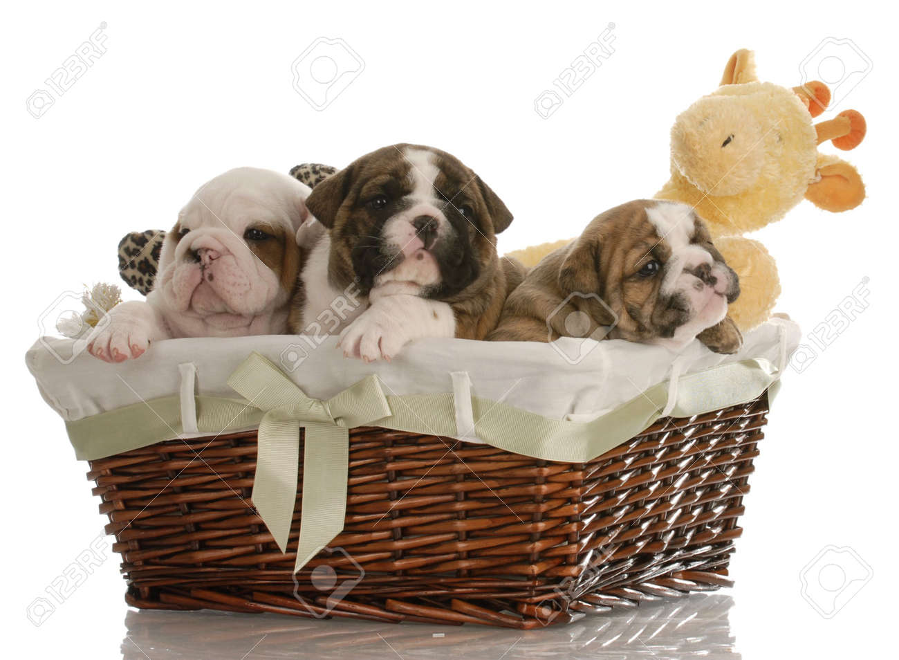 Four Week Old English Bulldog Puppies In A Wicker Basket With