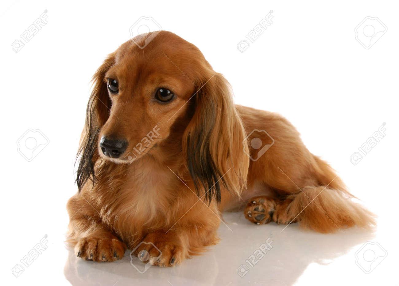 Dachshund miniatura pelo largo que establecen con una reflexión sobre fondo  blanco Foto de archivo - db530a7ce7b5