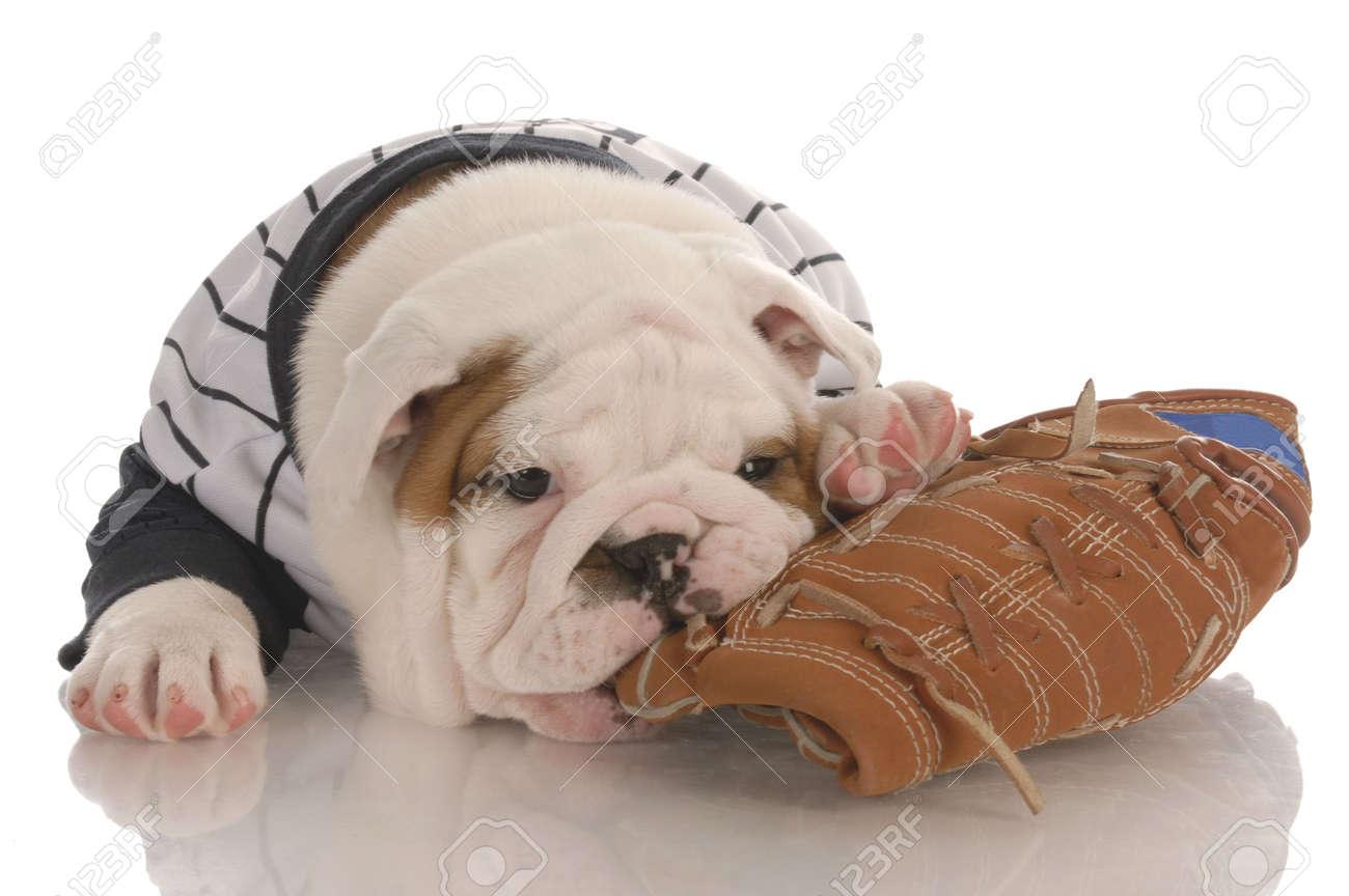 sports fan - english bulldog puppy wearing jersey chewing on baseball glove Stock Photo - 6125574