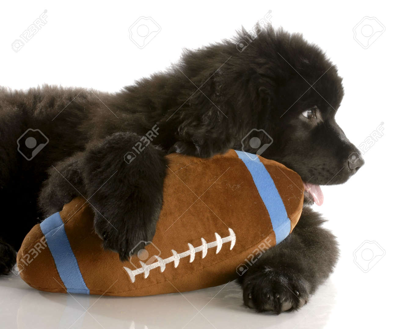 twelve week old newfoundland puppy with stuffed football Stock Photo - 6131657