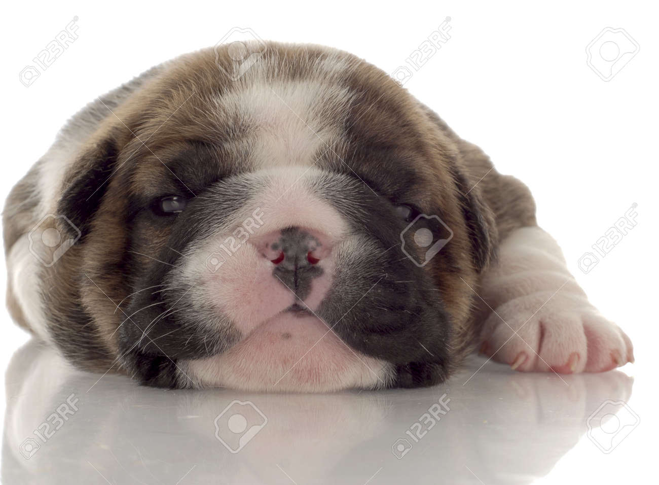Three Week Old Brindle And White English Bulldog Puppy Stock Photo Picture And Royalty Free Image Image 6139512