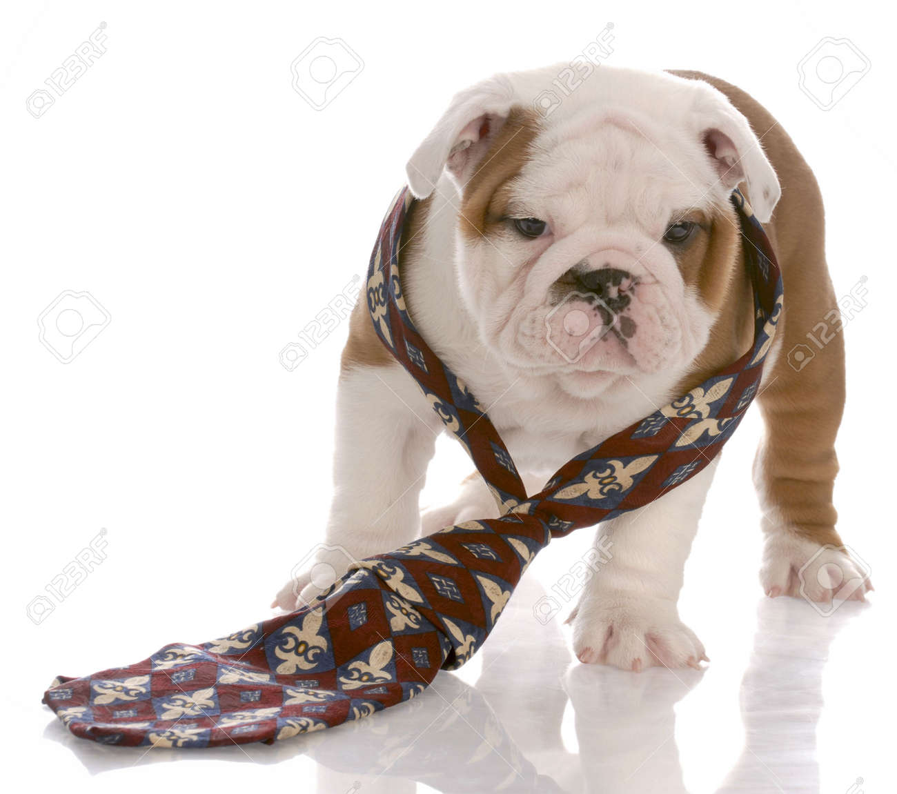 seven week old male english bulldog wearing mans tie Stock Photo - 6143502