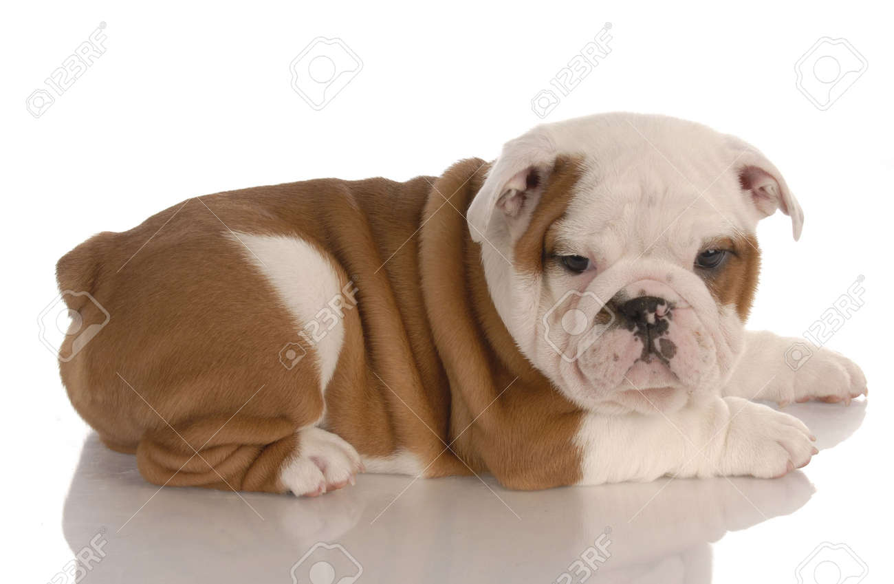 Red And White Eight Week Old English Bulldog Puppy With Reflection Stock Photo Picture And Royalty Free Image Image 6161520