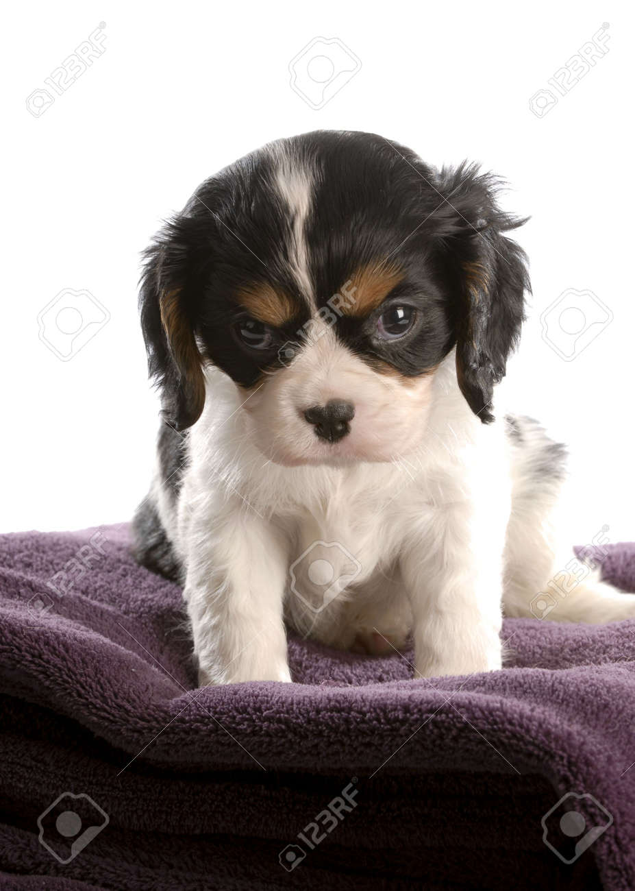 Six Week Old Tri Color Cavalier King Charles Spaniel Puppy Stock Photo Picture And Royalty Free Image Image 6347389